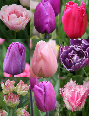 100 Blooms of Purple and Pink Tulips Collection