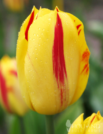 100 Blooms of Red and Yellow Tulips Collection - 88312