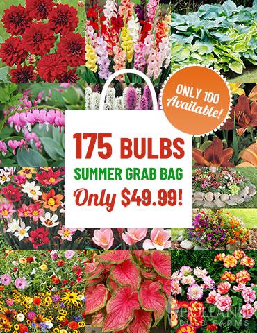 Summer Blooms Grab Bag Clearance Flowers Perennial Sale