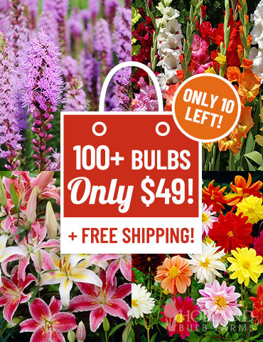 60 Days of Summer Blooms Garden  summer blooming bulbs, bulbs you plant in spring, flowers that bloom all summer, lilies for sale, gladiolus for sale, dahlias for sale, best deals on flower bulbs, flower bulb sale, flower bulbs to plant now,