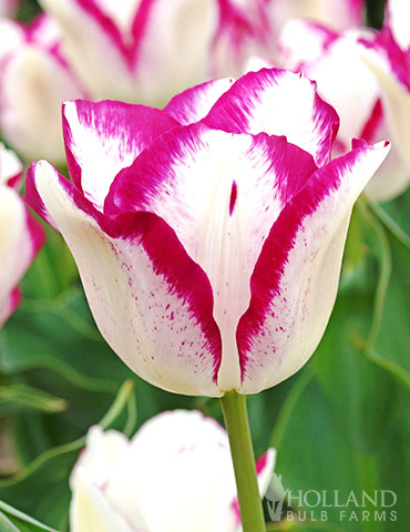 Affaire Triumph Tulip pink tulips, white tulips, two toned tulips, unique tulips, tulips that bloom in April, Tulips that bloom in May, Affaire Triumph Tulip