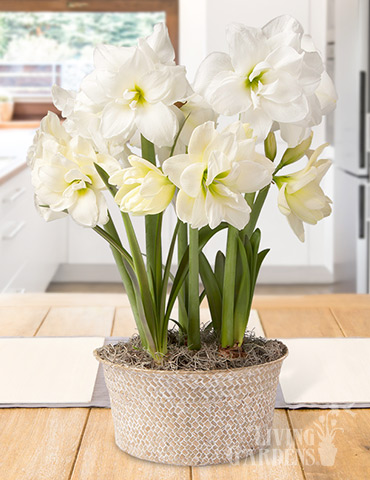 Alfresco Amaryllis Trio Potted Bulb Garden amaryllis gifts, amaryllis kits, amaryllis kits, amaryllis bulbs, gardening gifts, amaryllis bulbs, indoor growing kits, amaryllis bulbs for cheap, best deals on amaryllis, discount amaryllis bulbs
