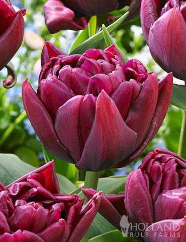 Alison Bradley Double Early Tulip Alison Bradley Tulips, double early tulips, peony tulips, peony tulips wholesale, dutch gardens, purple tulips, double tulips