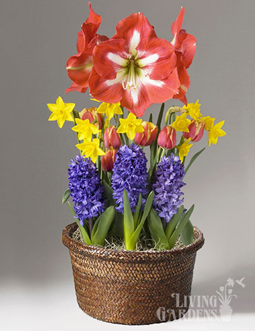 All Smiles Potted Bulb Garden indoor bulb planter, indoor flower bulb kits, indoor bulb garden gifts, flower bulb gifts, gifts for gardeners, forced bulbs in pots, daffodils indoors