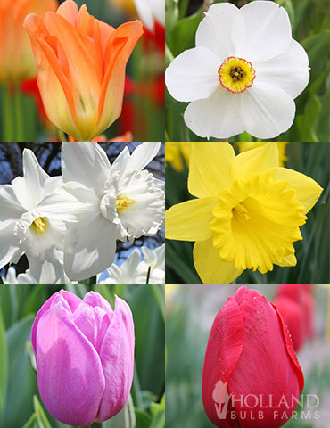 All Spring Blooming Daffodil & Tulip Collection