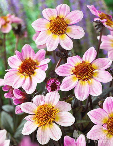 American Pie Dahlia border dahlias, dahlias to grow in pots, American Pie Dahlia, border dahlia, single flowered dahlia, dahlia tubers, buy dahlia tubers,