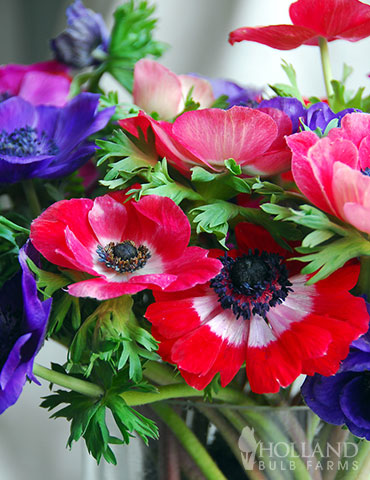 Anemone De Caen - Windflower