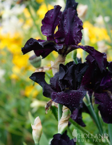 Anvil of Darkness Bearded Iris - 85175