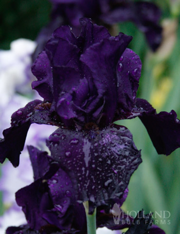 Anvil of Darkness Bearded Iris