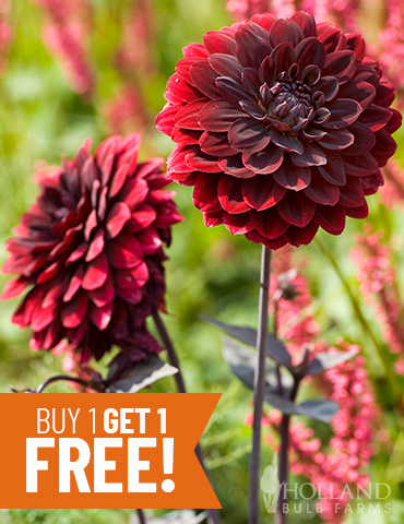 Arabian Night Decorative Dahlia - 74246
