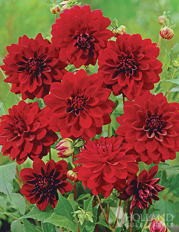 Arabian Night Decorative Dahlia