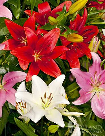 Asiatic Lily Mix - 86168