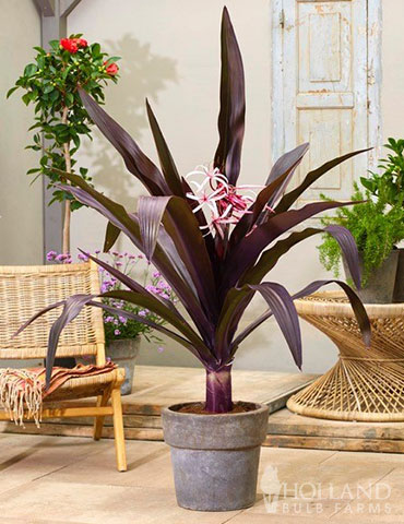 Asiatica Purple Crinum Lily spider lily, crinum asiaticum purple, asiatic purple crinum lily, purple spider lily bulbs