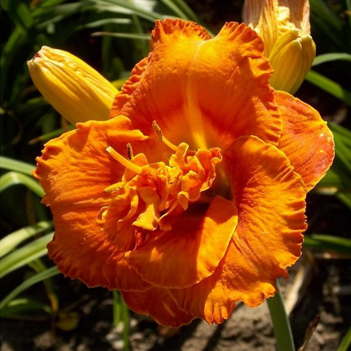 Awesome Luck Daylily