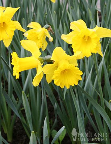 Large King Alfred Daffodil Jumbo Yellow Daffodils Large Quantity Bulbs