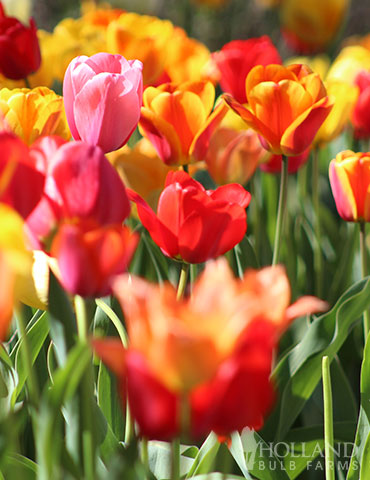 BULK Mixed Perennial Tulips (500) Bulbs - 88089