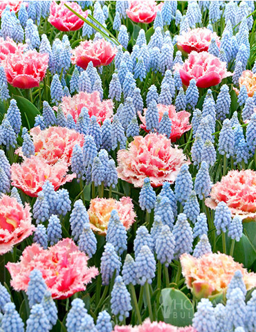 Baby Shower Muscari and Tulip Mix