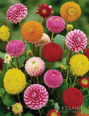 Ball Mixture Dahlias