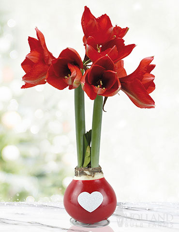 Be Mine Waxed Amaryllis Red Waxed Amaryllis, Holiday Decor, Special Occasion Gift, Hand-Dipped in Wax