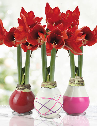 Be My Valentine Waxed Amaryllis Collection (3-Pack)