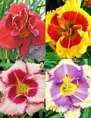 Beginner Daylily Collection  daylily collection, bare root daylilies, easy to grow perennials, daylily roots for sale, bare root perennials, planting daylilies in fall