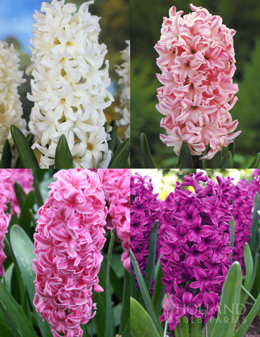 Berries & Cream Hyacinth Collection - 84130