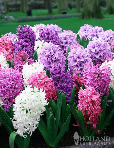 Berries & Cream Hyacinth Collection