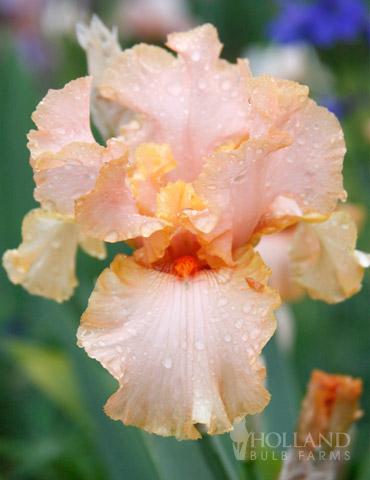BulbsRootsRhizomes TubersPlan Reblooming German Iris Reblooming Mix Collection #3