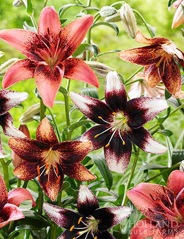 Bi-Color Asiatic Lily Blend
