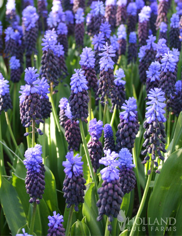 Bicolor Grape Hyacinth or Muscari - 83127