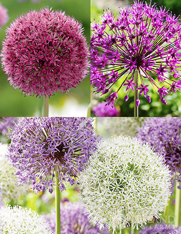 Big and Sensational Allium Collection