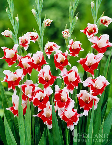 Bizar Dutch Gladiolus