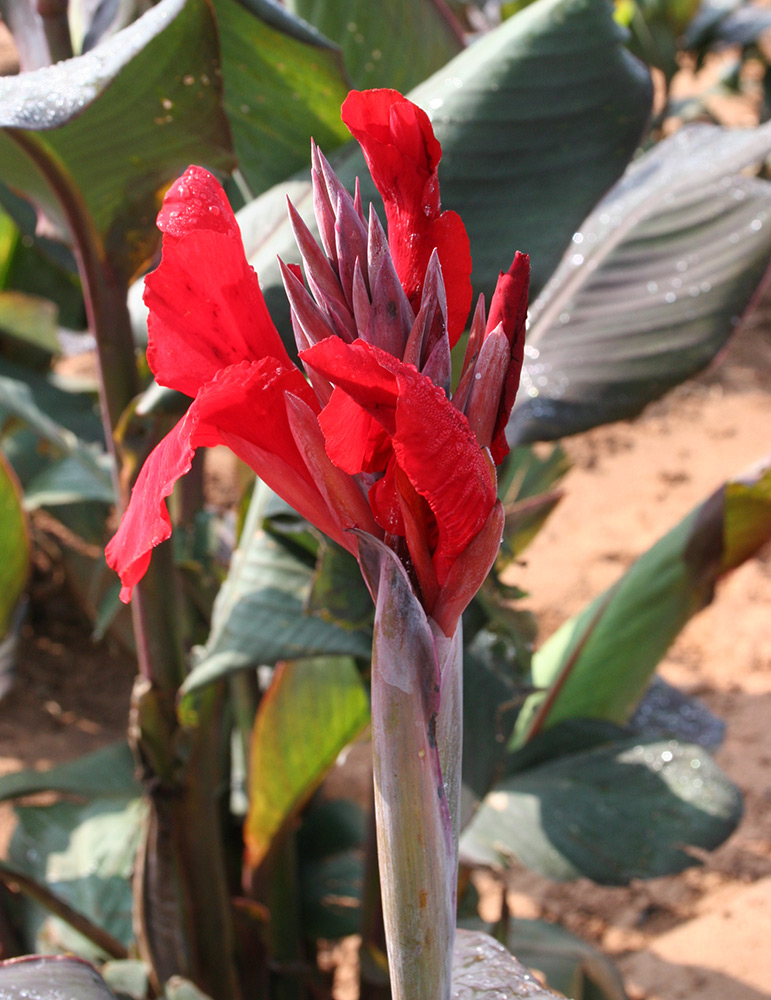 Black Knight Tall Canna - 73119