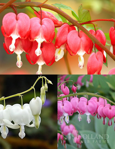 Bleeding Hearts Collection