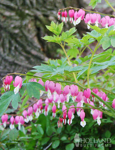 Bleeding Hearts - 86145