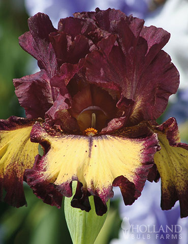 Blood Moon Bearded Iris