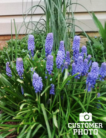 Blue Grape Hyacinth or Muscari - 83123