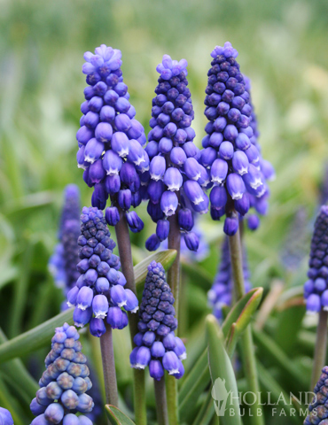 Blue Grape Hyacinth or Muscari
