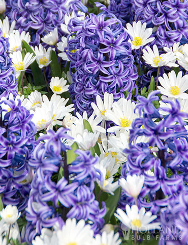 Blue Heaven Perfect Partners Blend hyacinth bulbs for sale, hyacinth bulb planting, hyacinth mix, bulb mix, anemone white splendour, hyacinths mixed with anemone