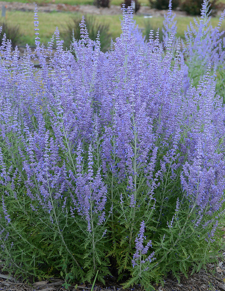 Blue Jean Baby Russian Sage