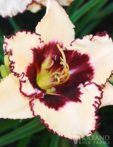 Blueberry Sundae Daylily - 77380