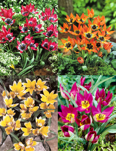 Botanical Tulip Collection