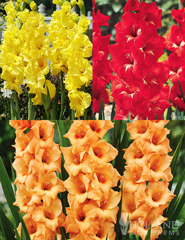 Bright Colors Gladiolus Collection red gladiolus, orange gladiolus, best flowers for cutting, best flowers for vases, cut flower garden, deals on flower bulbs, plants for sale cheap, bulbs for sale cheap