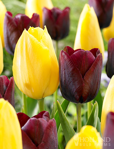 Bumblebee Tulip Duo tulips for sale, tulips for sale online, tulip bulbs, tulips from holland, dutch tulips, yellow tulips, red tulips, bulk tulips, wholesale tulips