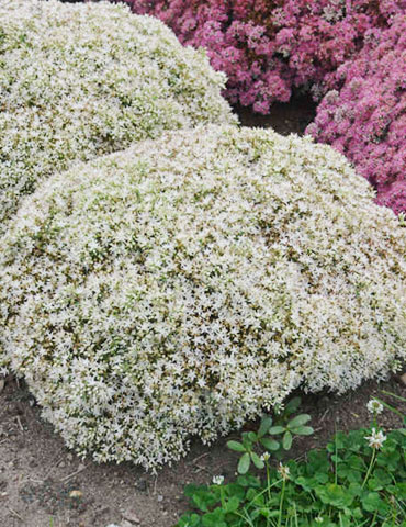 Bundle of Joy Sedum bundle of joy sedum, drought tolerant sedum , ground cover sedum, sedum varieties, white flowers, plants for full sun, plants that like heat, plants for hot locations