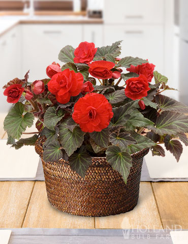 Bursting Begonias Basket living garden, indoor begonia garden, potted begonias, potted begonia garden, indoor garden gifts, garden gifts, gifts for gardeners