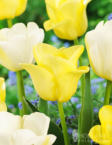 Buttered Popcorn Tulip Duo
