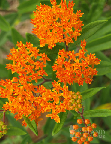 Butterfly Weed Value Pack