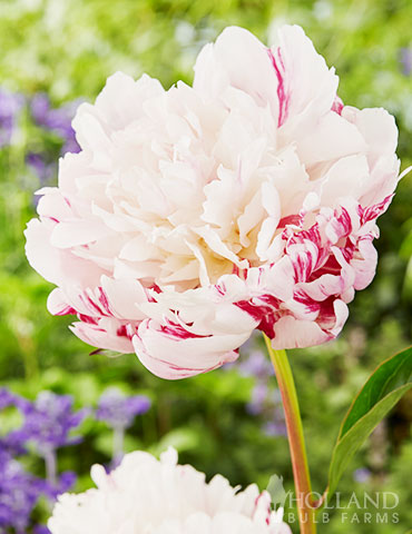 Candy Stripe Peony peonies for sale, candy stripe peony, peonies for sale, buy peony, peony varieties, peonies for planting in fall,