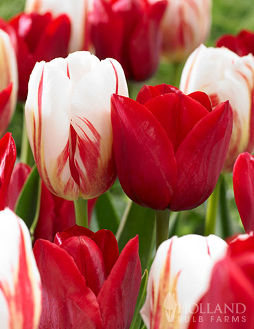 Candy Stripe Tulip Duo